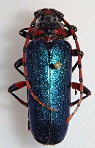 RARE Cerambycidae Stenaspis verticalis arizonicus 31.8mm Female AZ #BB Beetle