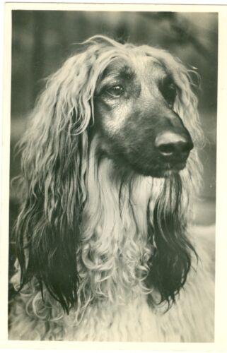 Vintage Gorgeous Afghan Hound Dog Head Study Postcard Netherlands 1942