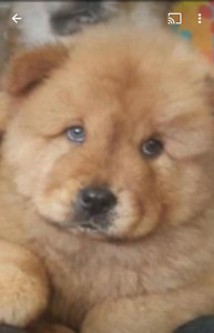 PUREBRED  CHOW CHOW PUPPIES FOR SALE