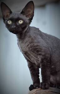 DEVINE DEVON REX KITTENS Chermside Brisbane North East Preview