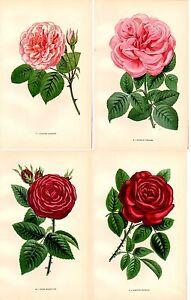 Stampe-antiche-fiori-LOTTO-DI-4-ROSE-ROSSE-E-ROSA-botanica-1873-Old-print-roses