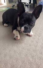 Adorable French Bulldog Cross Underwood Logan Area Preview