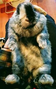STOLEN RABBIT REWARD OFFERED Devonport Devonport Area Preview