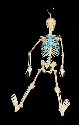 New 21 Inch Tall Human Skeleton Model Skull Anatomical Halloween Free Fast Ship