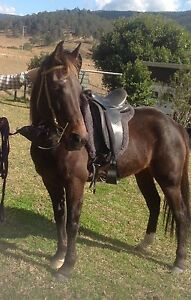 Sweet Standy Mare for sale 14'3h Bulahdelah Great Lakes Area Preview