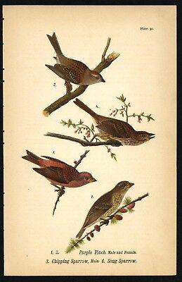 SONG SPARROW, Vintage 1890 Chromolithograph, Color Bird Print Antique, 030