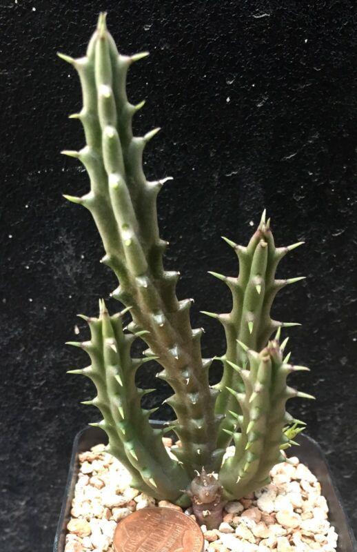 Succulent Plant--Tridentea geminiflora--Rare!