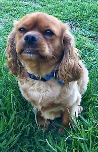 CAVALIER FOR SALE -  2 YEARS OLD - RUBY MALE DESEXED Cronulla Sutherland Area Preview