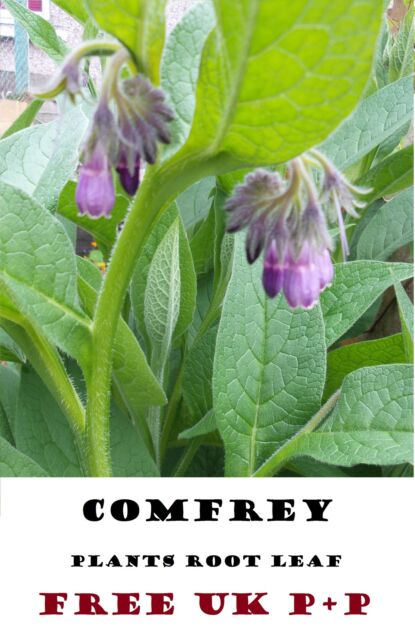 COMFREY ROOT BOCKING 14 RUSSIAN ORGANIC HERB  ROOTED CROWN CUTTINGS FREE P+P