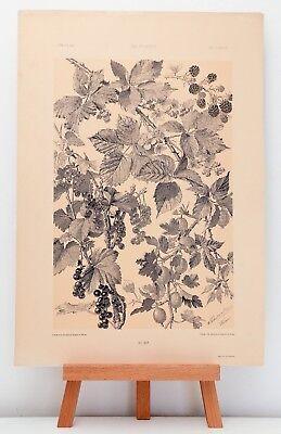 """Farb-Lithographie Plate 155 Beeren 1886 """"Die Pflanze in Kunst und Gewerbe"""""""
