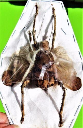 Rare Dragon Head Grasshopper Acridoxena hewiana Male FAST FROM USA