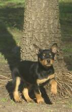 very cute Kelpie pups Campania Southern Midlands Preview