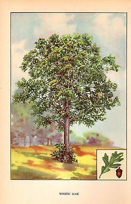 "1926 Vintage TREES ""WHITE OAK"" GORGEOUS COLOR Art Print Lithograph"