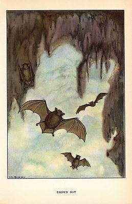 """1926 Vintage ANIMALS """"BROWN BAT"""" GORGEOUS COLOR Art Print Lithograph"""