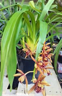 Cymbidium Orchids 1 spike/5-bulb in a  150m pot