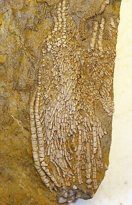Crinoids - Mississippian Period  - Beautiful Aphelecrinus Arms and Pinnules - C1