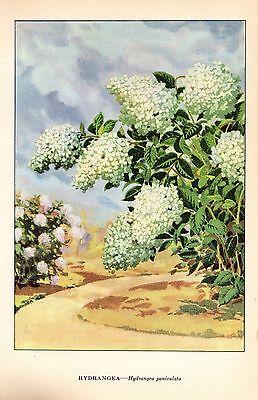 """1926 Vintage GARDEN FLOWER """"HYDRANGEA"""" GORGEOUS COLOR Art Print Lithograph"""