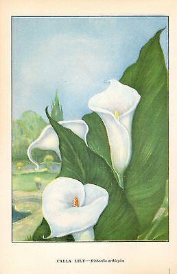 Calla Lily Garden Art - 1926 Vintage GARDEN FLOWER