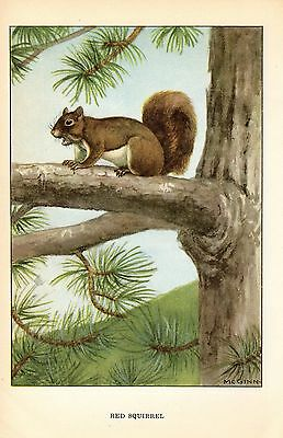 "1926 Vintage ANIMALS ""RED SQUIRREL"" GORGEOUS COLOR Art Print Plate Lithograph"