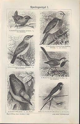 Lithografie 1910: Sperlingsvögel I/II. Vögel Tiere