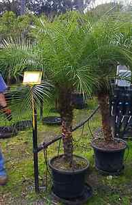 Pygmy date palm 40cm - Approximately 1.6m-1.8m tall Greenvale Hume Area Preview