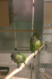 Bonded breeding pair of black caped conures 5 years old