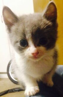 Kittens for sale  Murrumba Downs Pine Rivers Area Preview