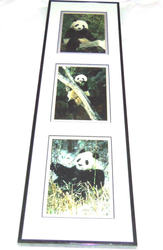 Giant Panda Bear Prints Mark J Thomas Framed Published Photographer