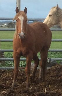 Chestnut QH Yearling Colac Colac-Otway Area Preview