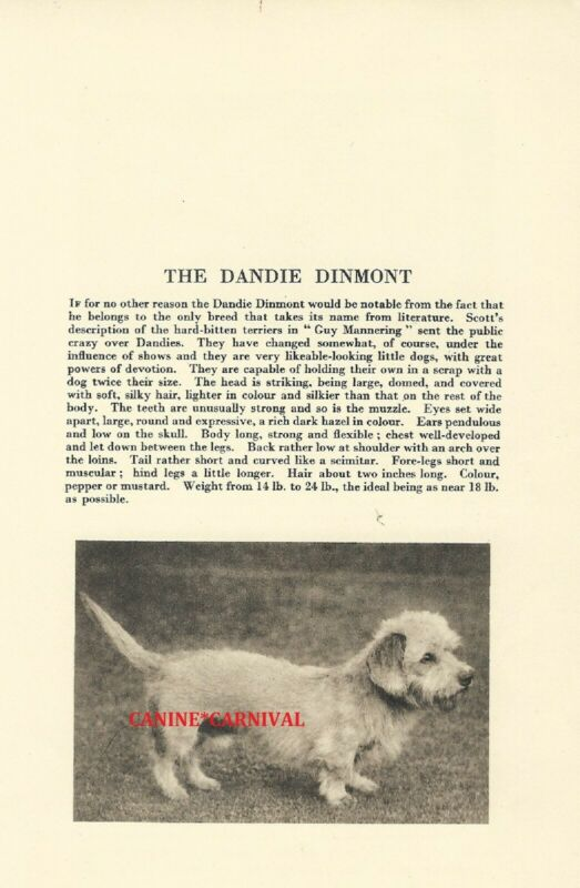 DANDIE DINMONT TERRIER Dog Rare Vintage Art Photo & Breed Description From 1931