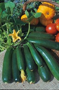 Vegetable - Courgette - Zucchini - 15 Seeds