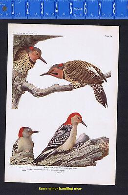 Northern Flicker & Red-Bellied Woodpecker - 1932 Fuertes Bird (Northern Flicker Woodpecker)