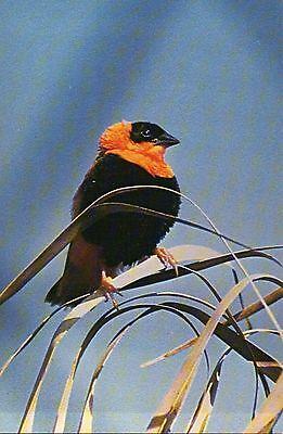 Red Bishop Weaver, NC Zoological Park, Asheboro, Bird, Zoo --- Animal Postcard