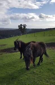 Ponies 2x minature Emerald Cardinia Area Preview