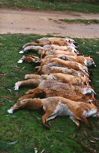BOMBALA PRO FOX WHISTLE Game & Predator Decoy Caller for Hunting & spotlighting