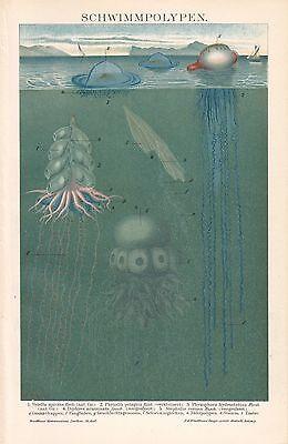 Schwimmpolypen Seeblase Stehalia corona Velella spirans  LITHOGRAPHIE v.1892