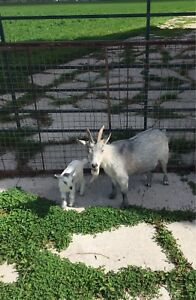 Pygmy goat: doe and week old buckling