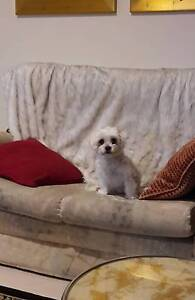 WANTED: Small Breed Female Puppy Newton Campbelltown Area Preview