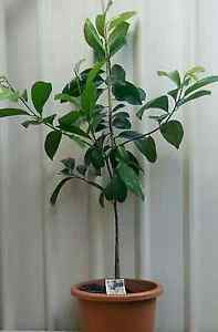 Black sapote chocolate pudding fruit trees plants Landsdale Wanneroo Area Preview