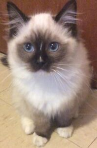 Ragdoll kittens! TIca registered