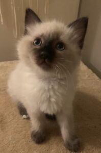 Male ragdoll kitten