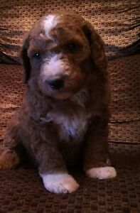 Gorgeous red golden doodle puppies, non shedding