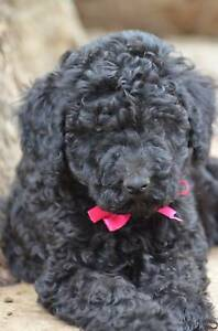 ~~ GORGEOUS BLACK FEMALE STANDARD POODLE PUPPY~~...PINK