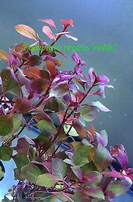 Live Fresh Water Aquarium Bundle Plant Ludwigia repens 'rubin' B292 (see* **)