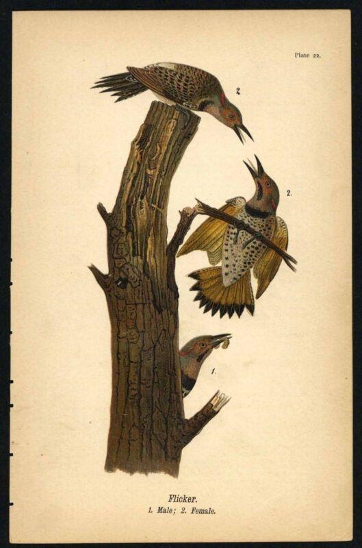 FLICKER, Vintage 1890 Chromolithograph, Color Bird Print Antique, 022