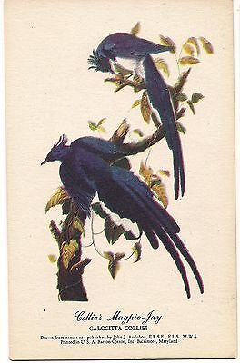 Collies Magpie Jay John J  Audubon Art Vintage Postcard Blue Bird Barton Cotton