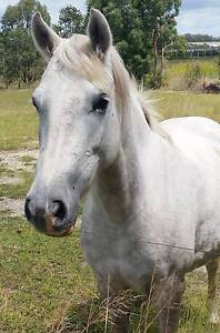 Grey Pony Mare Dalveen Southern Downs Preview