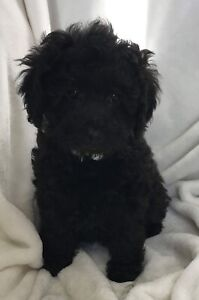 Poodle | Adopt Dogs & Puppies Locally in Saskatchewan