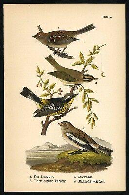SPARROW, WARBLER, Vintage 1890 Chromolithograph, Color Bird Print Antique, 094