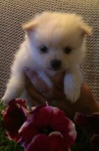 Gorgeous toy Pomeranian puppies, please read entire ad